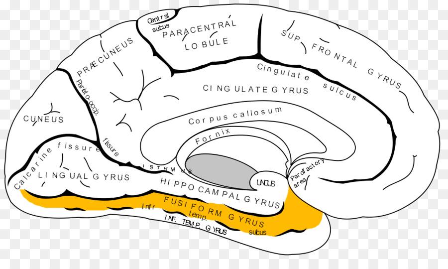 Anterior cingulate cortex Cerebral cortex Prefrontal cortex Brain ...