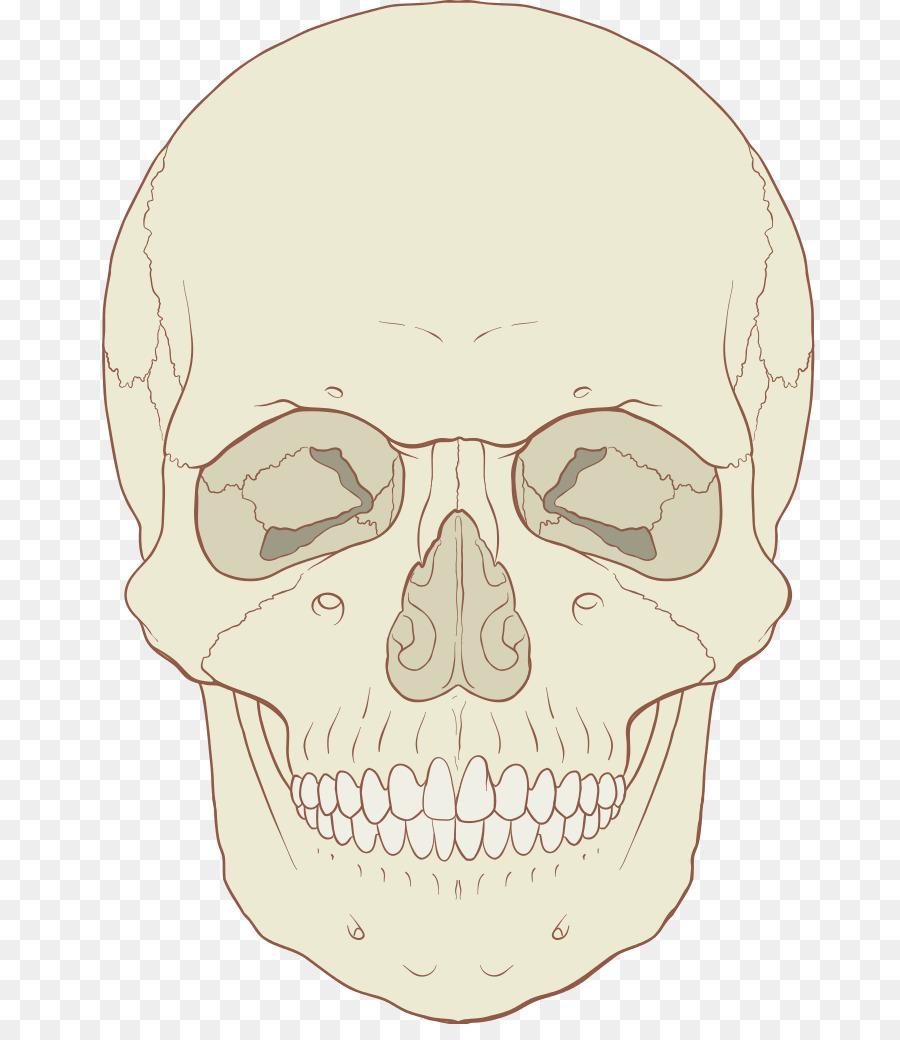 Skull Anatomy Axial skeleton Human skeleton Human body - Medicine ...