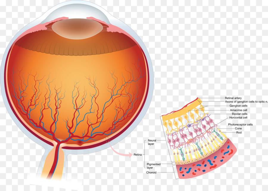 Retina Human eye Anatomy Visual perception - retina png download ...