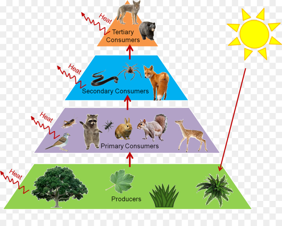 trophic level food web food chain ecological pyramid ecology rh kisspng com ecosystem clipart png aquatic ecosystem clipart