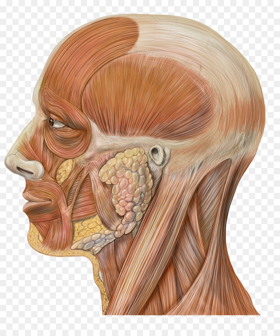 Head and neck anatomy Human body Human head - creative skull png ...