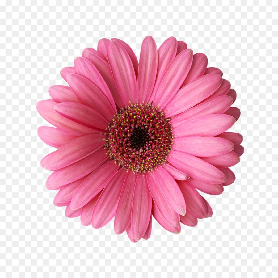 Transvaal margarita Rosa Flor Común daisy Clip art ...
