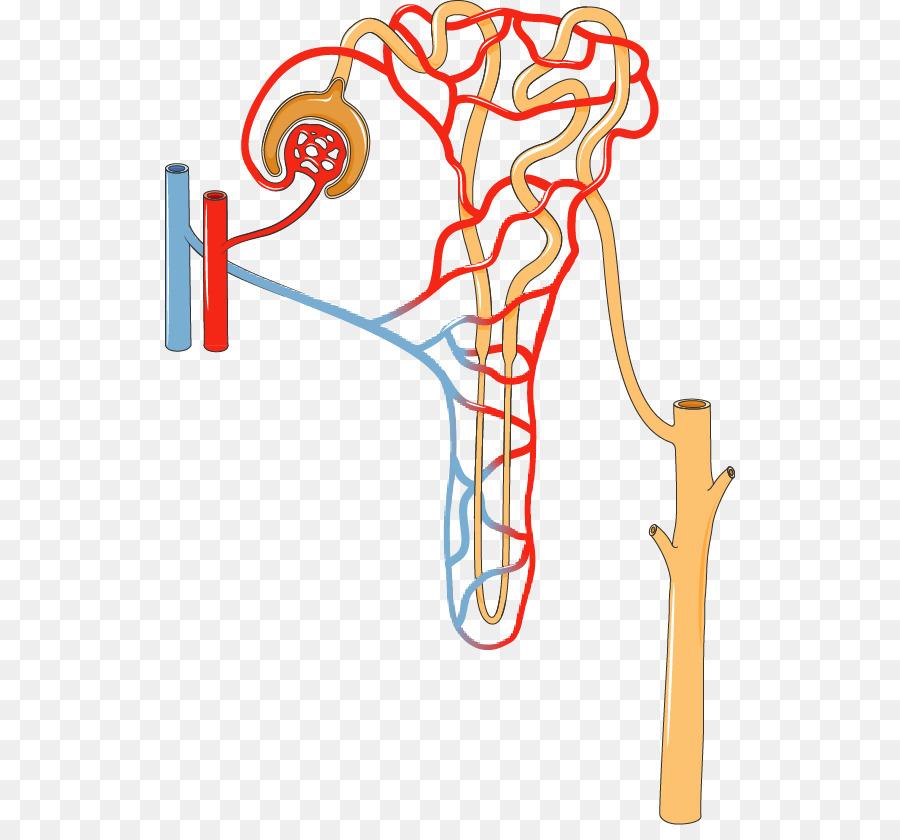 La nefrona del Riñón sistema Excretor túbulo Proximal de la Orina ...
