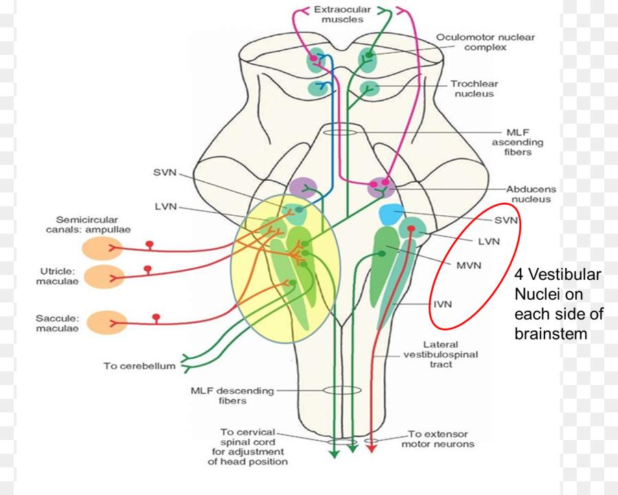 Medicine Vestibular nerve Vestibular system Lateral vestibular ...