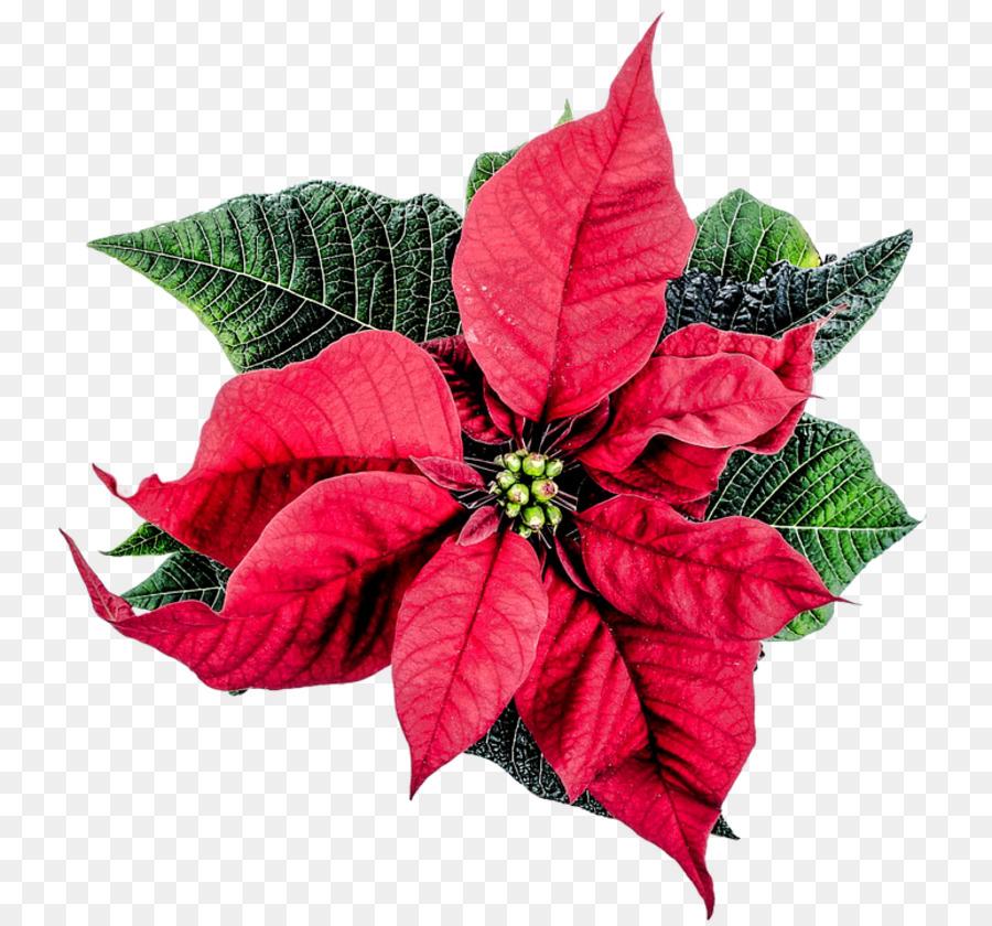 Weihnachtsstern Christmas Flower Clip art - Weihnachtsstern clipart ...