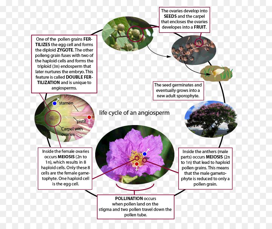 Flowering Plant Water Lily Lilium Rose Magnolia Creative Png