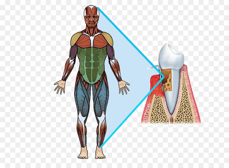 Músculo pectoral mayor cuerpo Humano músculo Cuádriceps femoral ...