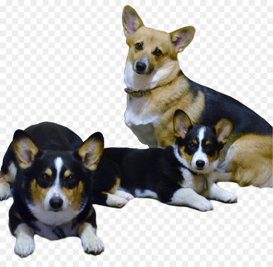 Cardigan welsh corgi pembroke welsh corgi puppy italian greyhound cardigan welsh corgi pembroke welsh corgi puppy italian greyhound companion dog corgi altavistaventures Image collections