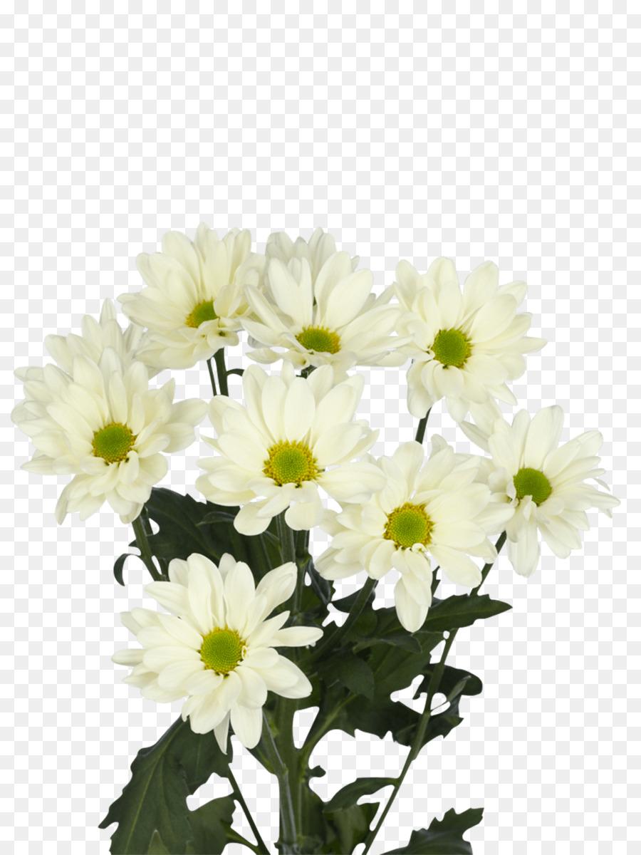 Chrysanthemum Prosecco Oxeye Daisy Transvaal Daisy Flower