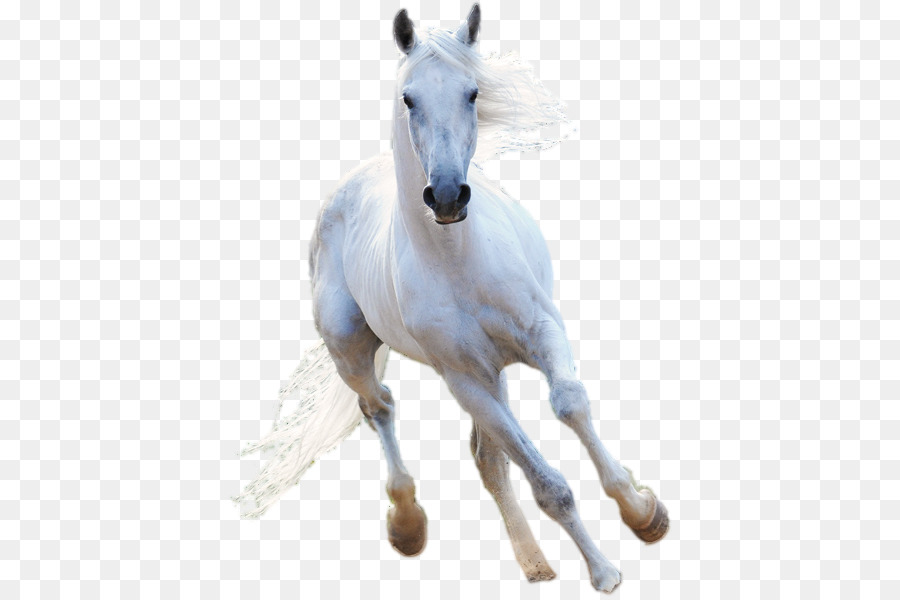 American Paint Horse Stallion White