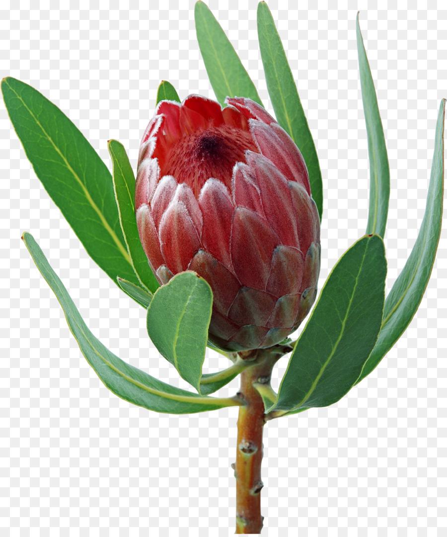 Protea cynaroides Flower bouquet Inflorescence Clip art - flower ...