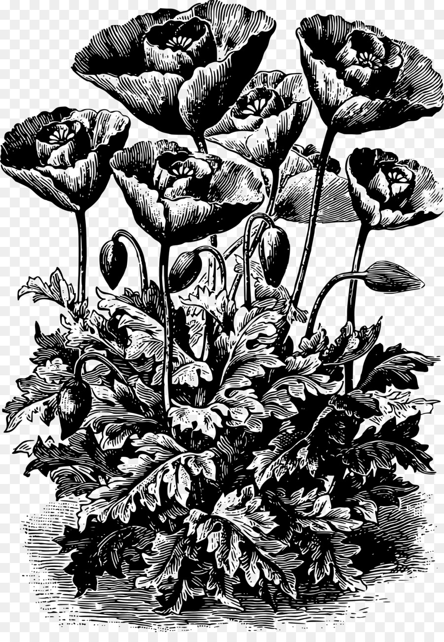 Opium Poppy The Meaning Of Flowers A Garland Of Plant Lore And