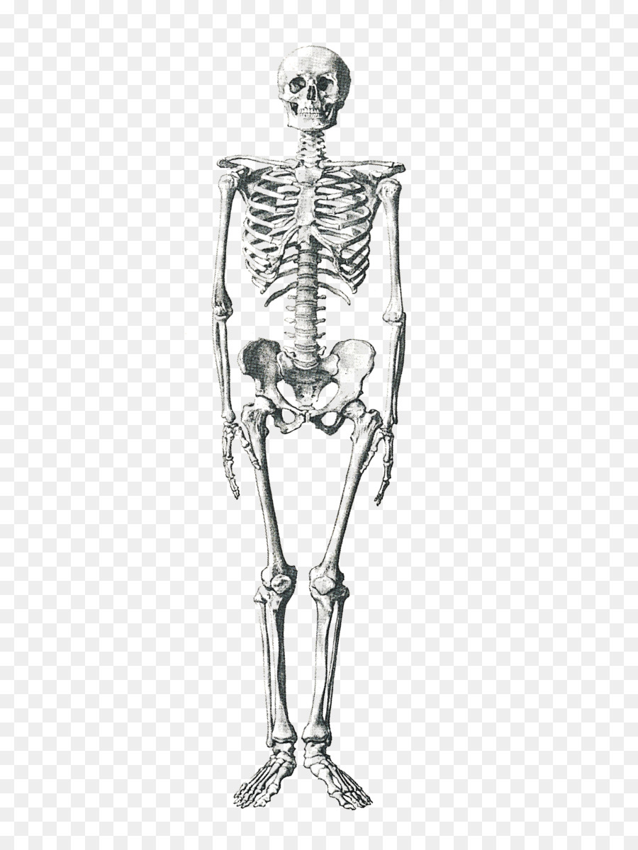 Human skeleton Human body Anatomy Bone - Skeleton png download ...