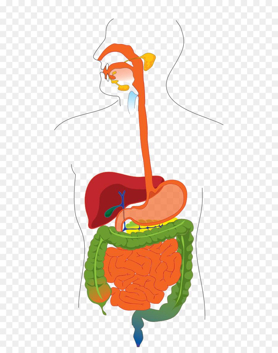 Aparato digestivo tracto digestivo de los Humanos Diagrama del ...