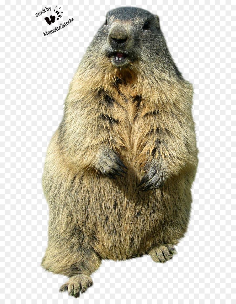 El Día de la marmota Punxsutawney papel Tapiz de Desktop de animal ...