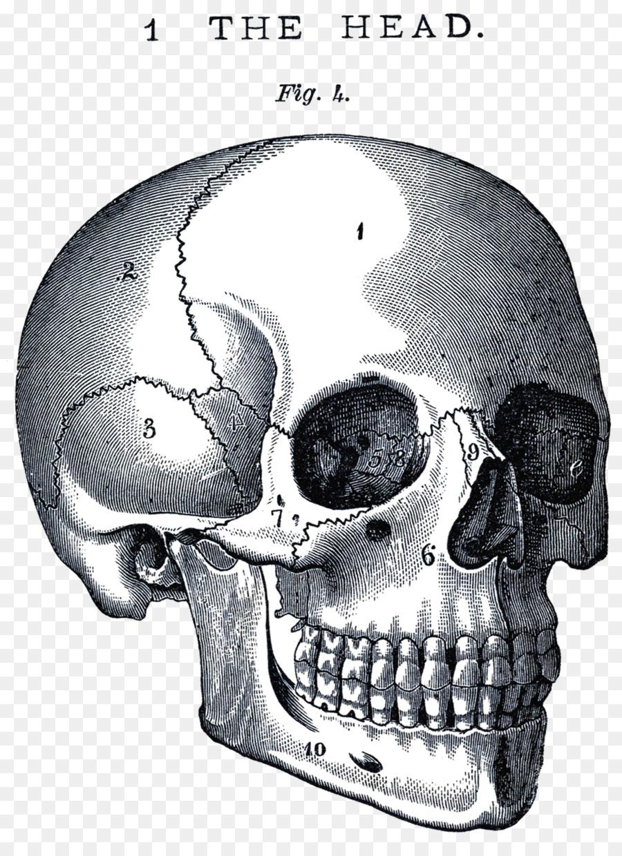 Cráneo de la Anatomía del Neurocráneo cuerpo Humano Clip art - la ...