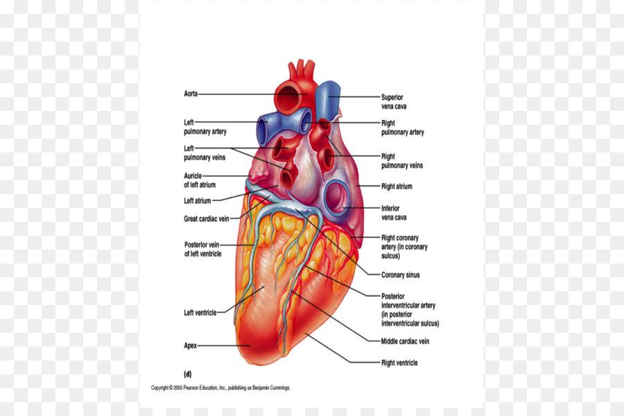 Heart Muscle Coronary circulation Coronary sinus Vein - wall rupture ...
