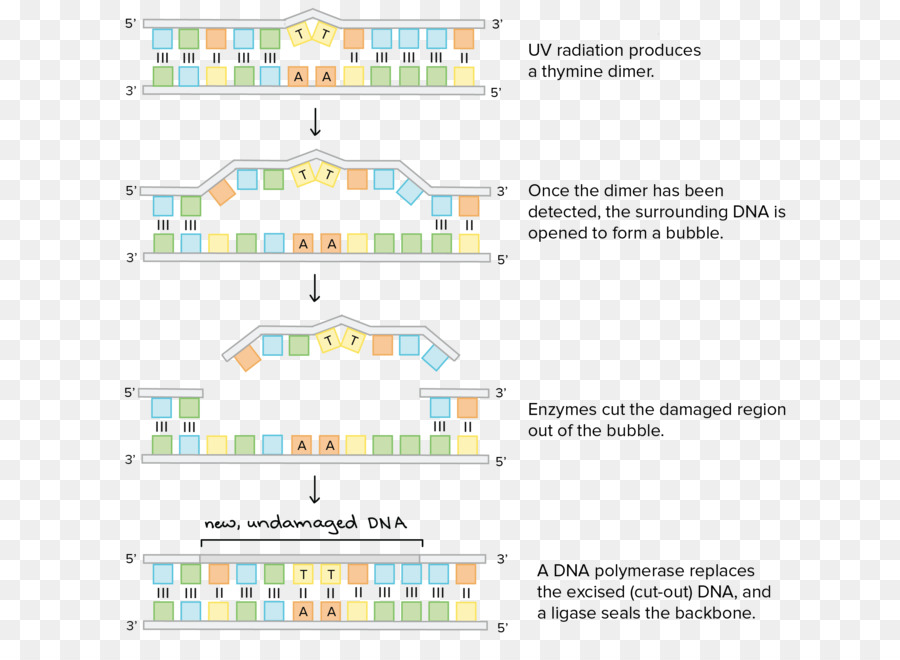Dna Repair Wiring Diagram Nucleotide Repairman Orginal Image Png