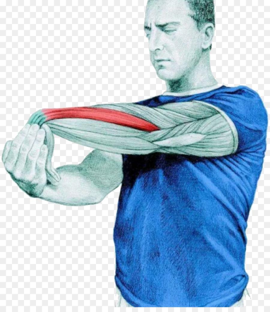El estiramiento de la Anatomía del músculo Extensor corto de los ...