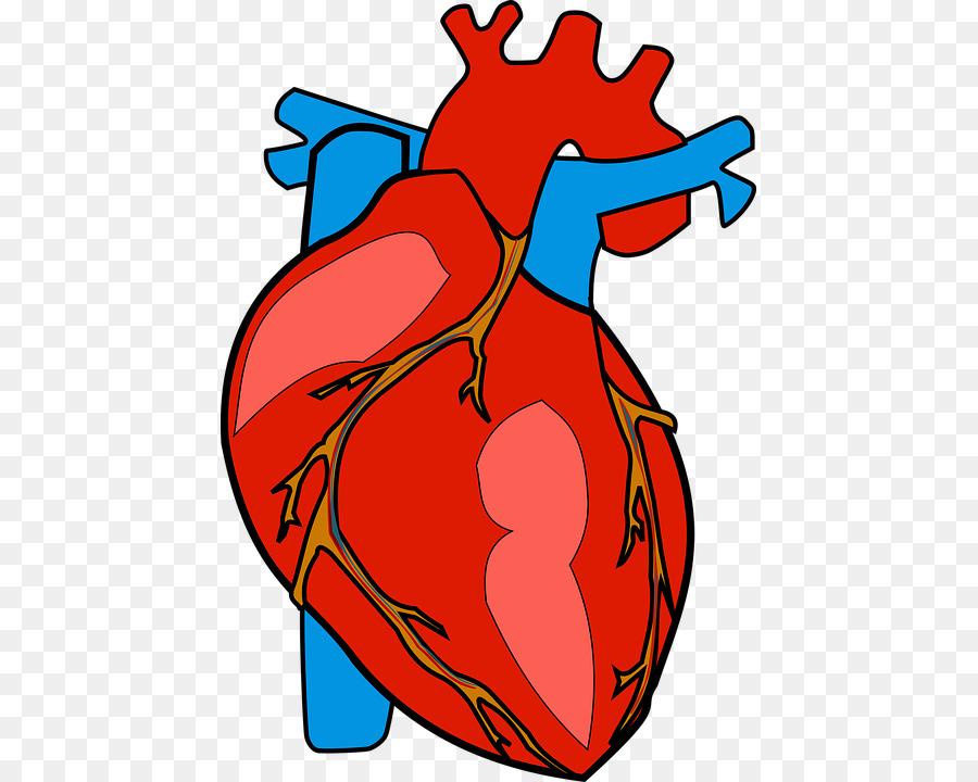 Corazón del cuerpo Humano Anatomía Clip art - corazón 493*720 ...