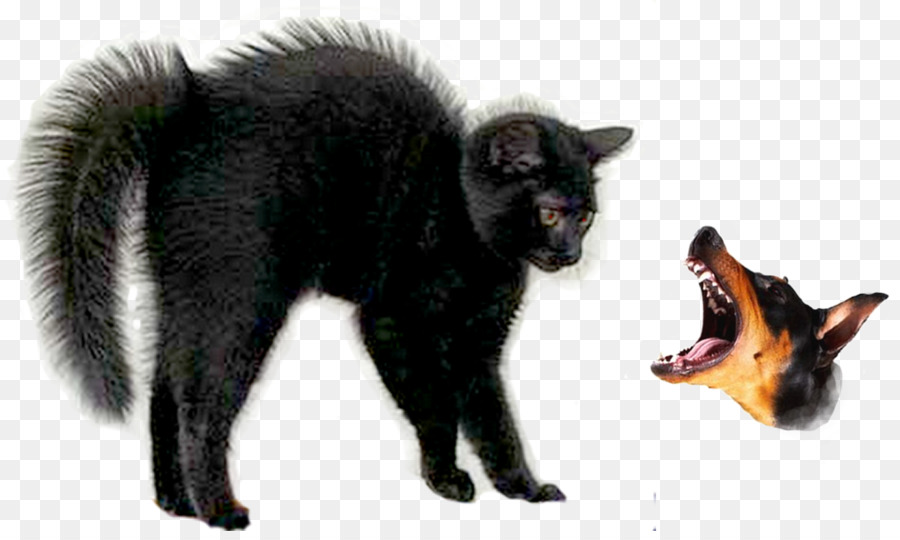 black cat halloween ragdoll kitten black panther bird hair png