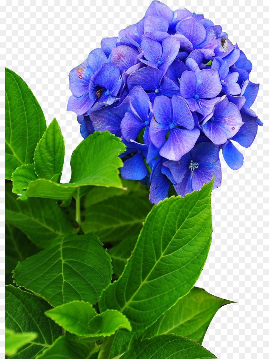 Hydrangea phlox cut flowers perennial plant flower png download hydrangea phlox cut flowers perennial plant flower mightylinksfo