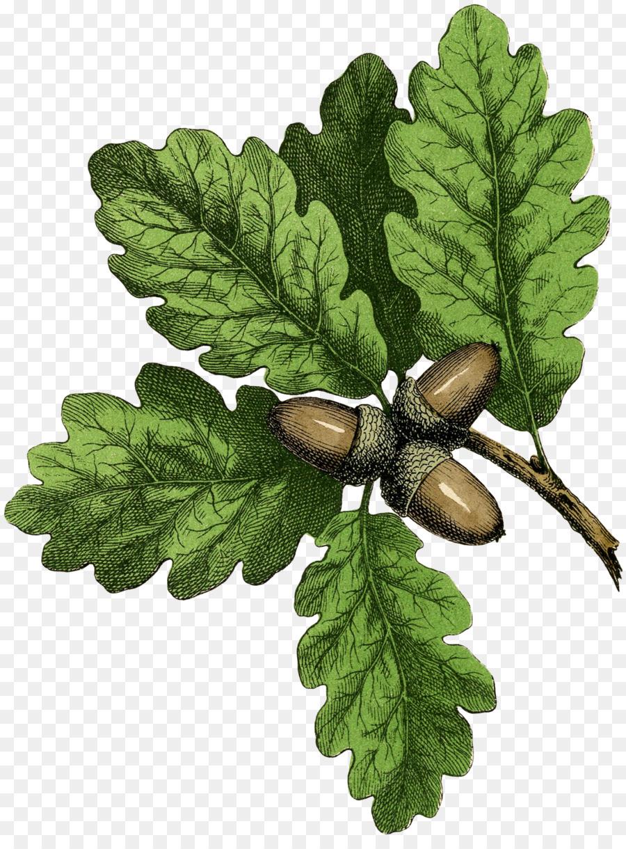 Leaf Oak Drawing Acorn Tree - autumn has set in png download - 1344 ...