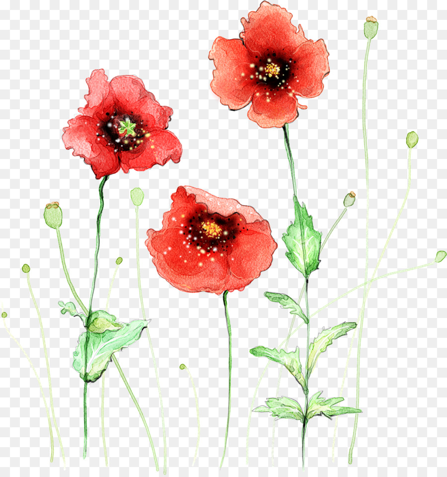 Common Poppy Flower Watercolor Painting The Japanese Are Small And