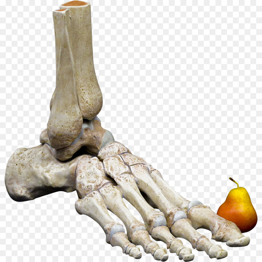 Human skeleton Bone Foot Anatomy Human body - others png download ...