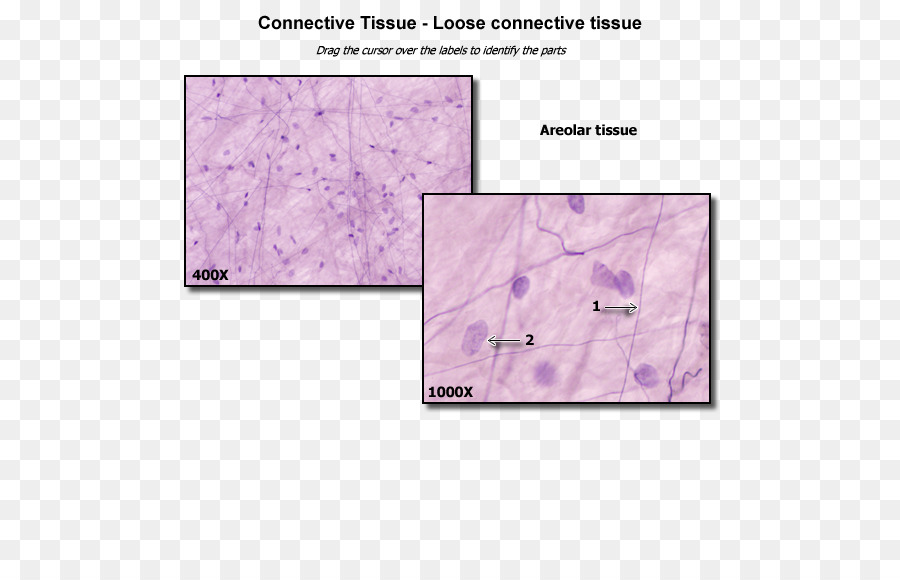 Loose connective tissue Anatomy Dense connective tissue - loose png ...