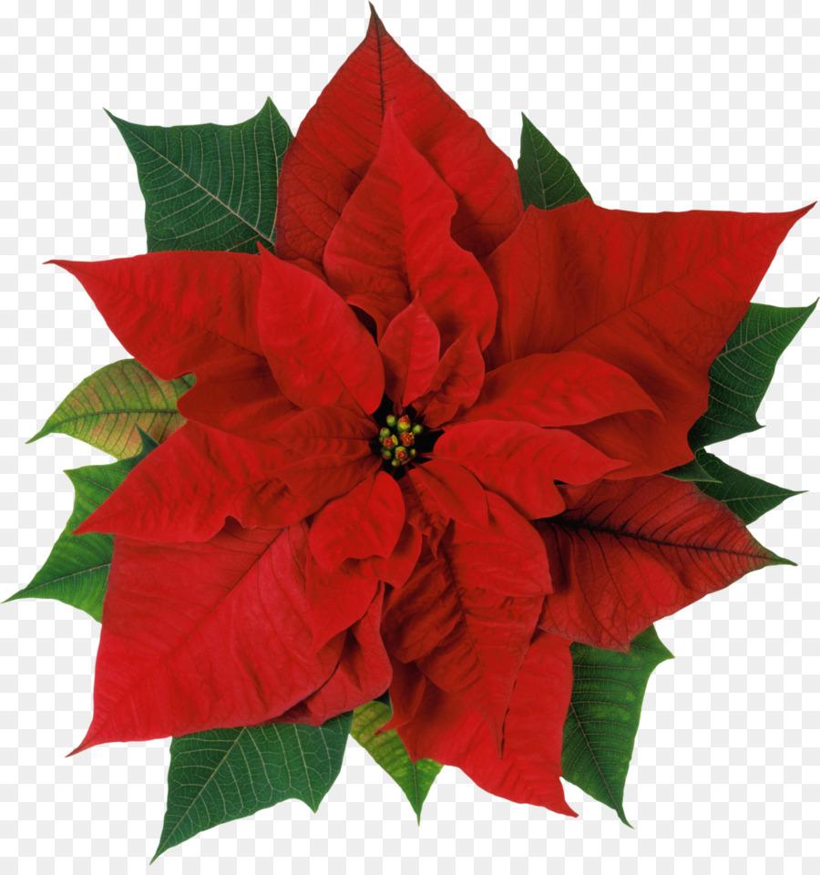 poinsettia flower christmas stock photography clip art christmas