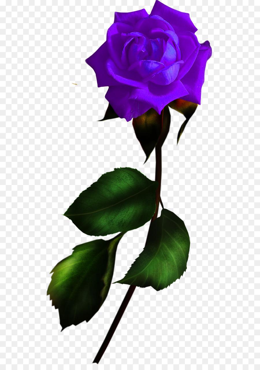 Garden Roses Blue Rose Flower Rosa Gallica Flower Png Download