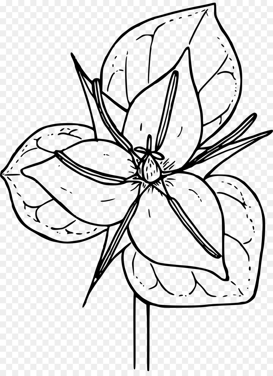 Trillium Grandiflorum Coloring Book Botanical Illustration Erectum