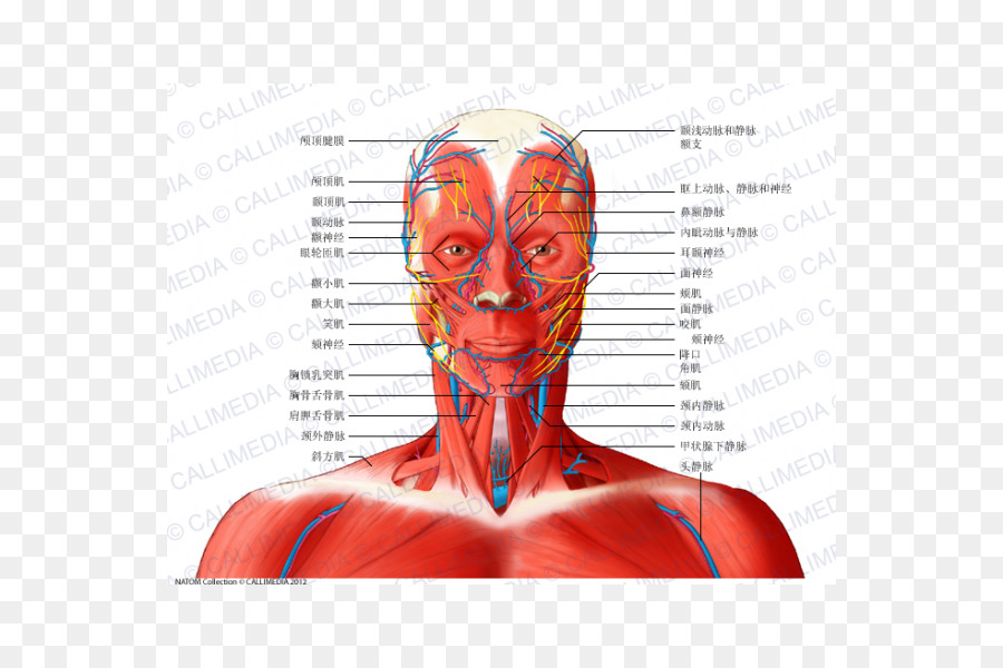 Head and neck anatomy Muscle Anterior triangle of the neck - neck ...