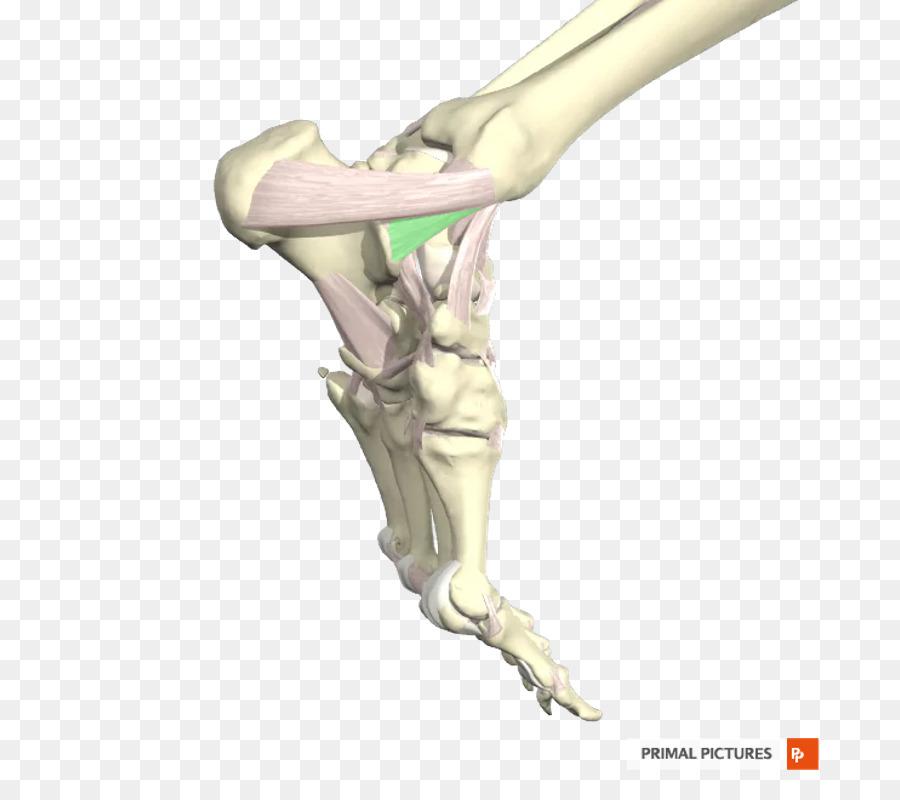 Dedo De La Tibia Ligamento De Tobillo Peroné - ligamento Formatos De ...