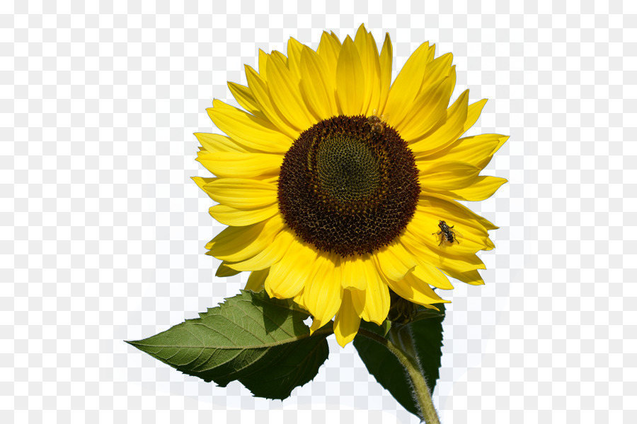 Common Sunflower Desktop Wallpaper Clip Art