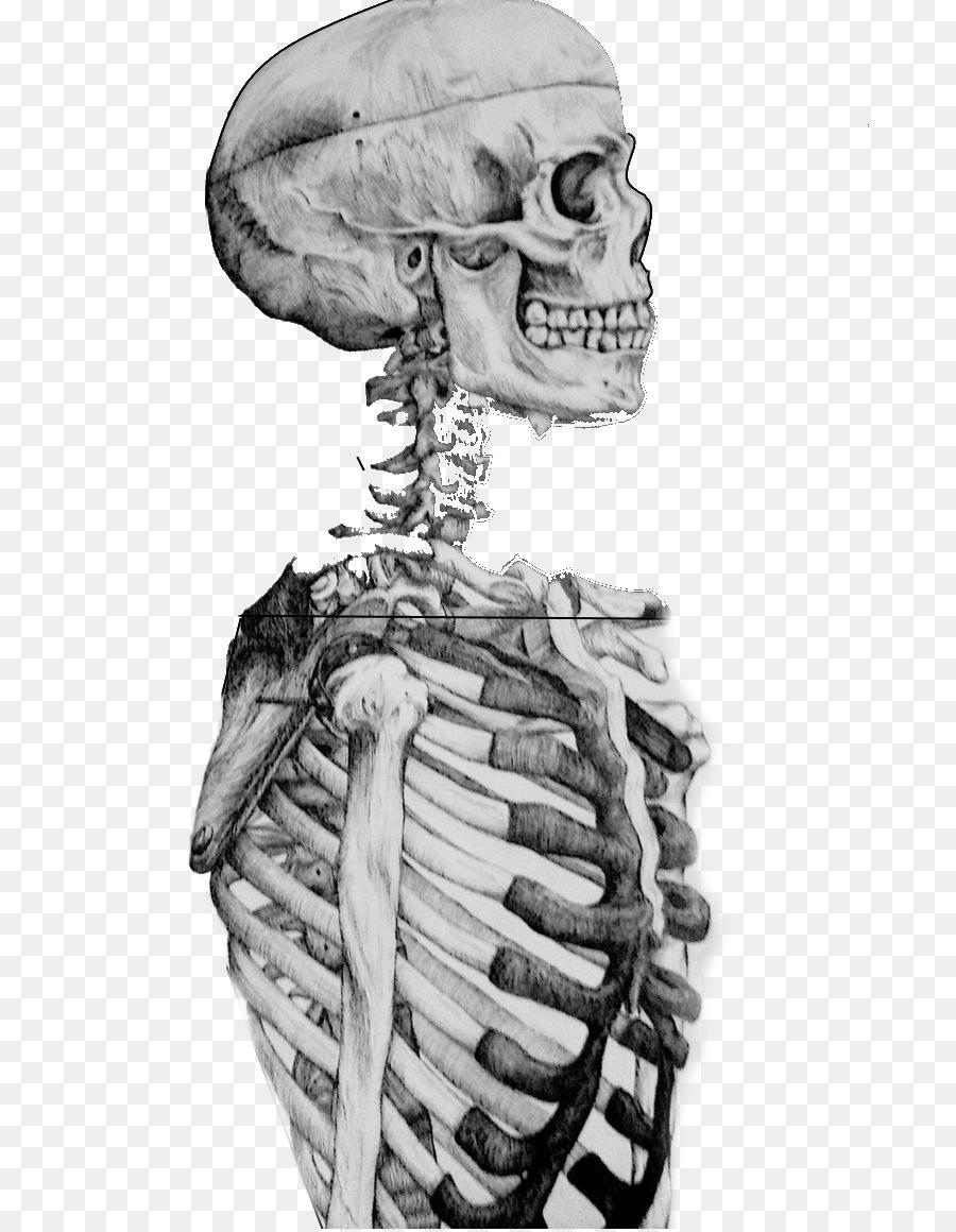 Zeichnung Studie Menschliche Skelett, Schädel, Skizze - Schädel png ...