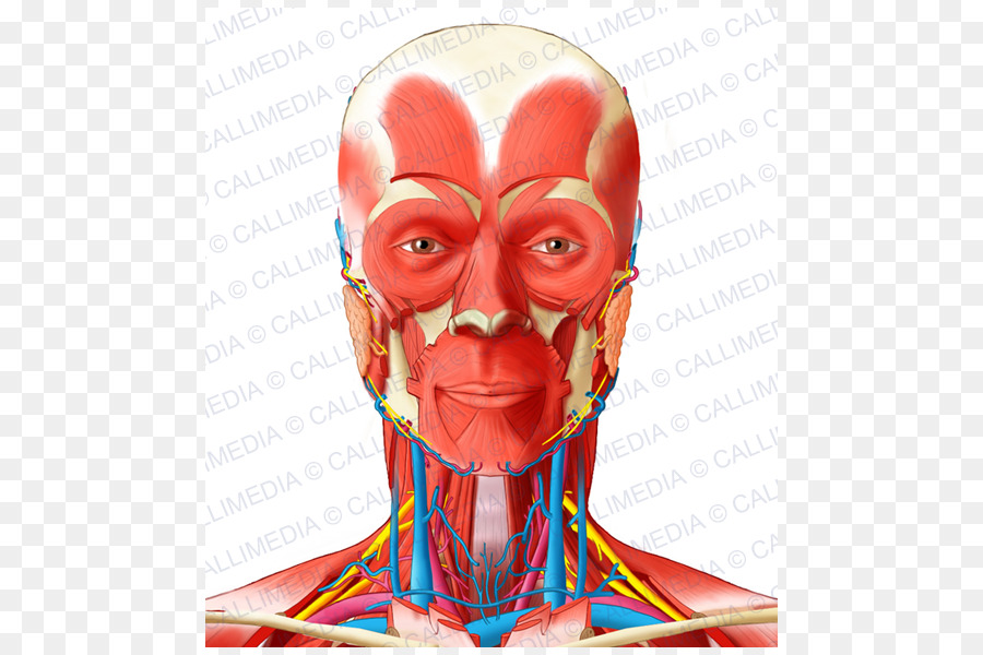 Muscle Anterior triangle of the neck Head and neck anatomy - neck ...