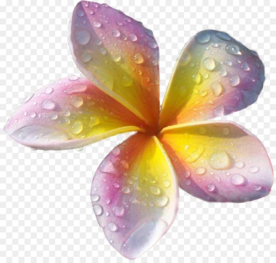 Plumeria Rubra Fleur De L Arbre De La Pollinisation Tropiques