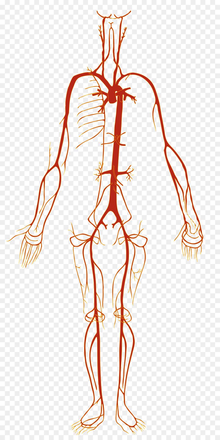 La arteria del cuerpo Humano de los vasos Sanguíneos de la anatomía ...