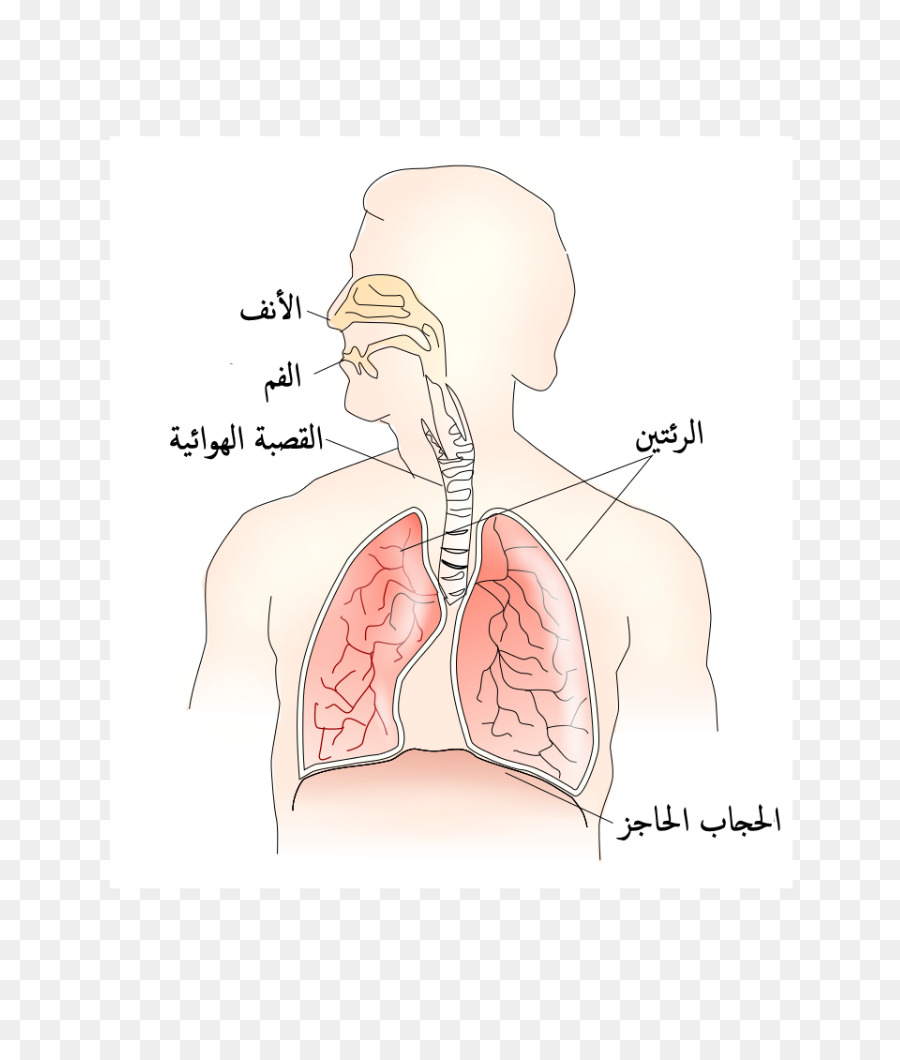 Nariz Muscular Torácica, diafragma Respiratorio sistema de Aorta ...