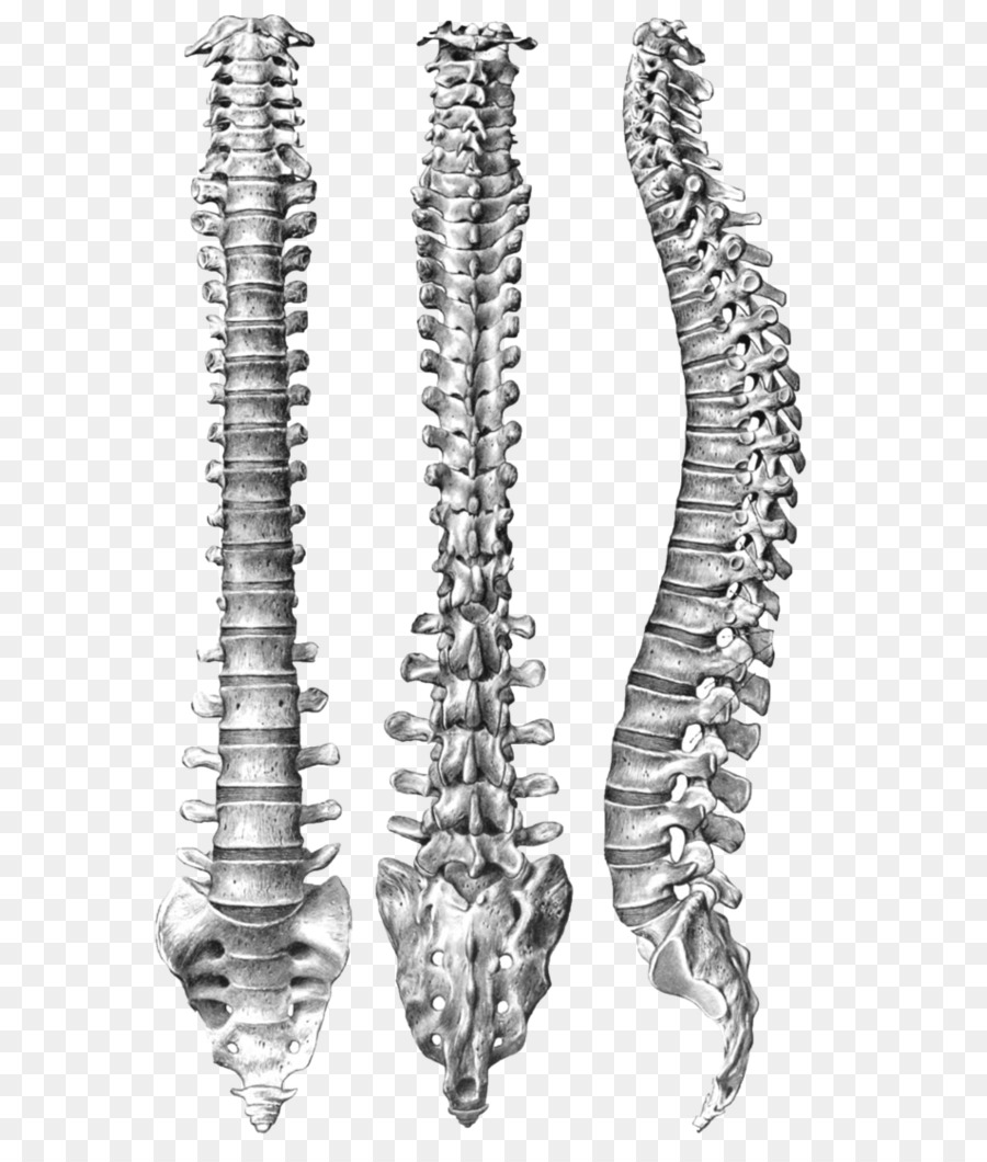 Human vertebral column Spinal Anatomy Human body - vertebral png ...