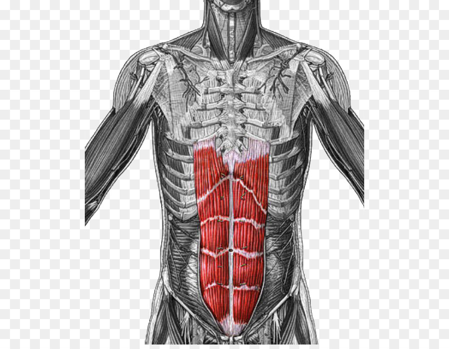Rectus abdominis muscle Origin and Insertion Transverse abdominal ...