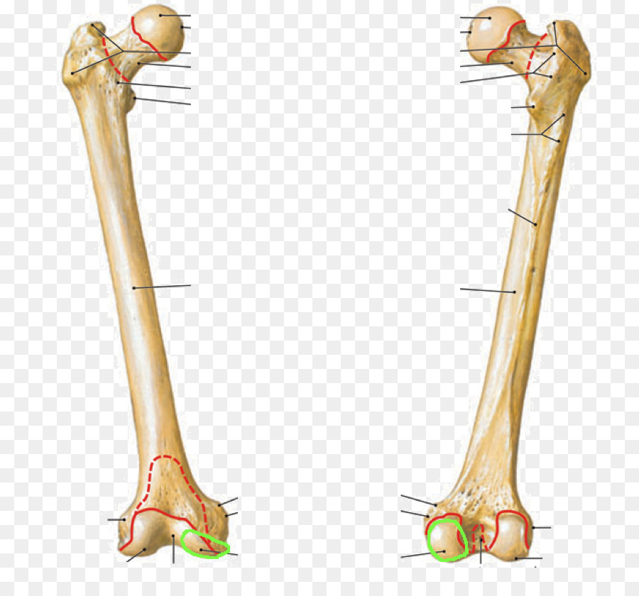 Femur Intertrochanteric crest Intertrochanteric line Bone Fibula ...