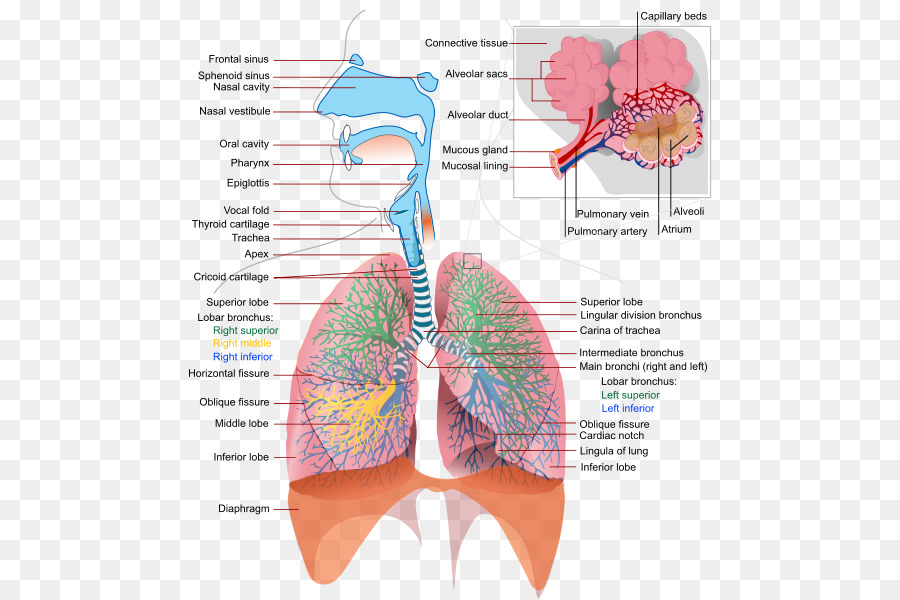 Respiratory tract Respiratory system Human body Breathing Lung ...