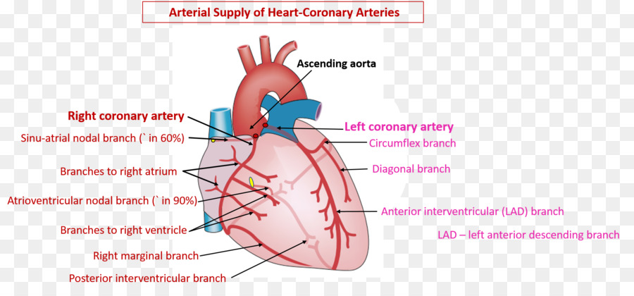 Coronary Circulation Coronary Arteries Heart Right Coronary Artery