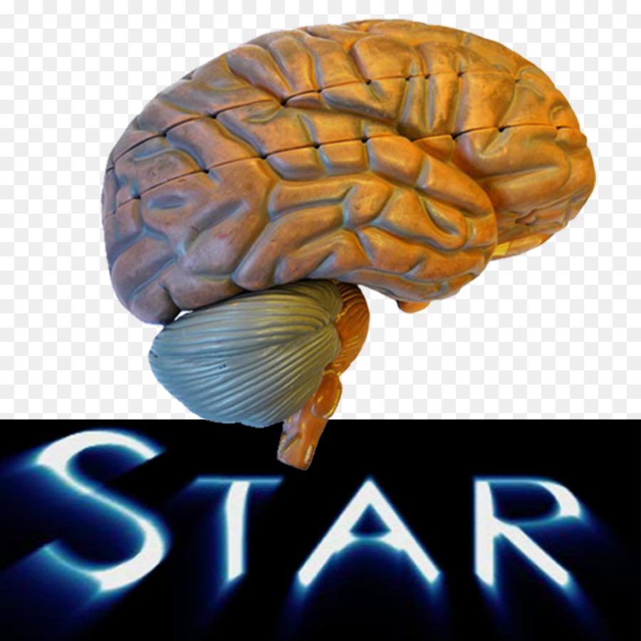 Brain The Human Nervous System Anatomy Human body - Brain png ...