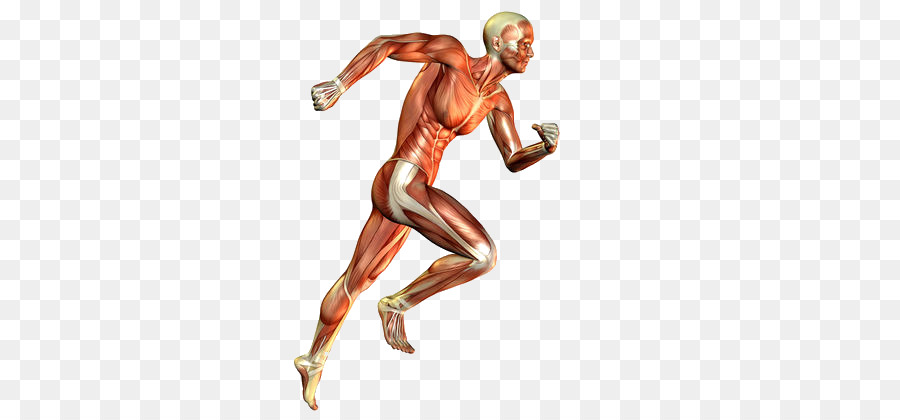 Skeletal Muscle Muscular System Human Body Running Others Png