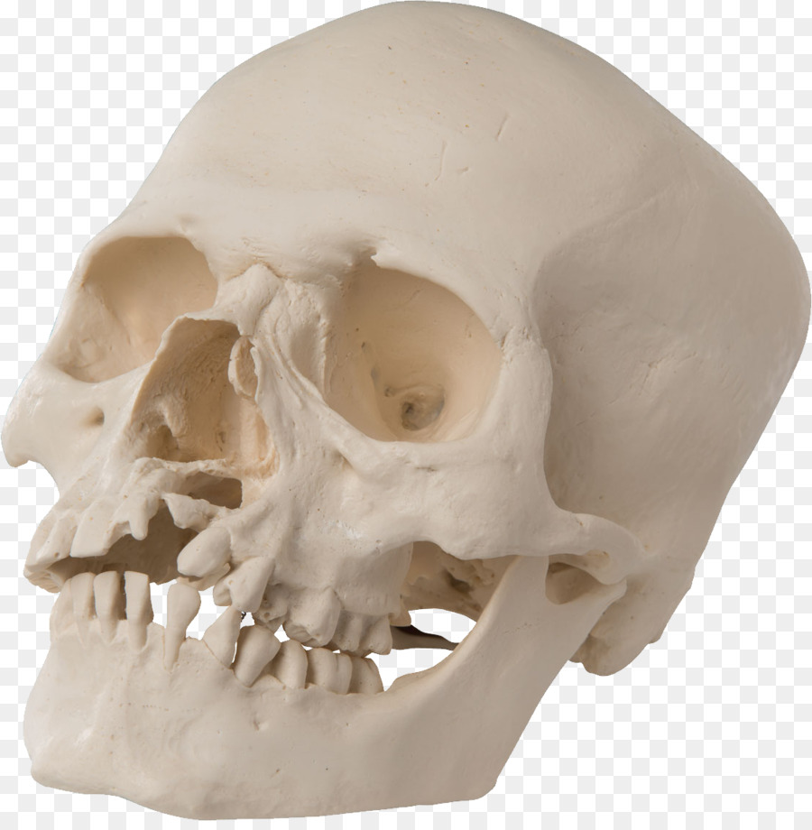 Cráneo De La Anatomía Del Paladar Diente De La Ciencia - bien ...