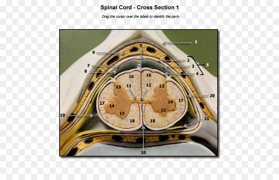 Spinal cord Human vertebral column Cross section Nervous system ...